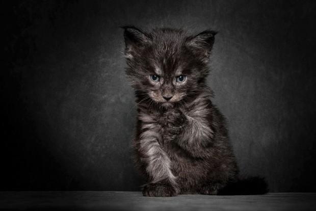 maine-coon-cat-photography-robert-sijka-14-57ad8ed42c03d__880