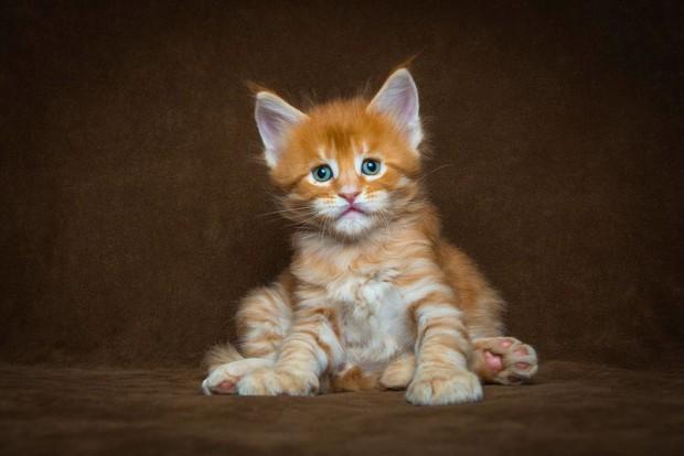maine-coon-cat-photography-robert-sijka-2-57ad8ebdc6c26__880