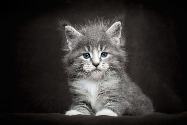maine-coon-cat-photography-robert-sijka-26-57ad8ee957f86__880
