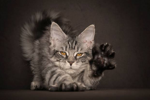 maine-coon-cat-photography-robert-sijka-45-57ad8f094f171__880