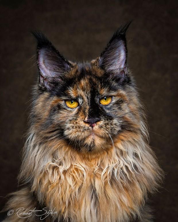 maine-coon-cat-photography-robert-sijka-61-57ad8f2679730__880