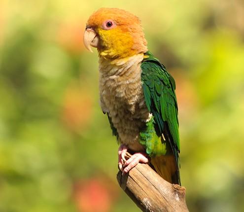 Ararajuba no zoológico da capital baiana. Foto: Zoológico de Salvador.
