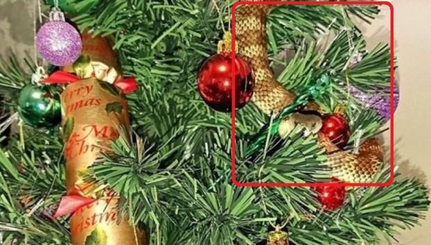 Mulher encontra cobra venenosa em sua árvore de Natal