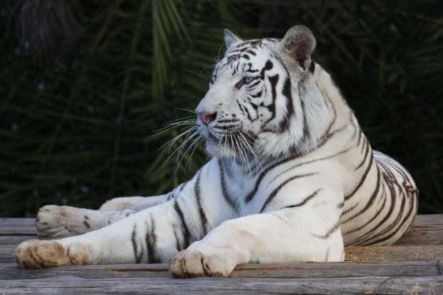 Tigre-de-Bengala. Foto: Zoológico de Brasília
