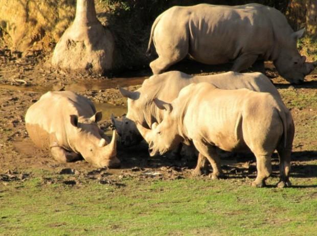 População de rinocerontes no ZooParque Itatiba. Foto: ZooParque Itatiba.